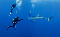 WQ1088-D. A Blue Shark (Prionace glauca) glides through a group of lucky divers. Hanging on weighted lines beneath the boat, the divers are treated to close approaches by a curious 7 foot long blue shark attracted to the area by a small amount of bait. Seamounts off Pico and Faial Islands offer some of the best blue shark dives on the planet. Azores, Portugal, Atlantic Ocean.<br /> Copyright © Brandon Cole. All rights reserved worldwide.  www.brandoncole.com