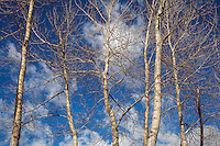 Cottonwoods, Winter I