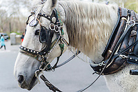 New York, NY - 31 March 2016 - White carriage horse on Central Park South awaits customers. ©Stacy Walsh Rosenstock