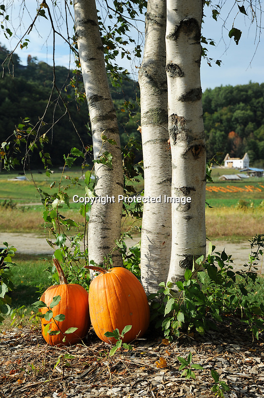 Birch Trees and Pumpkins Decorating the Yard at a Farmstand in Vermont USA