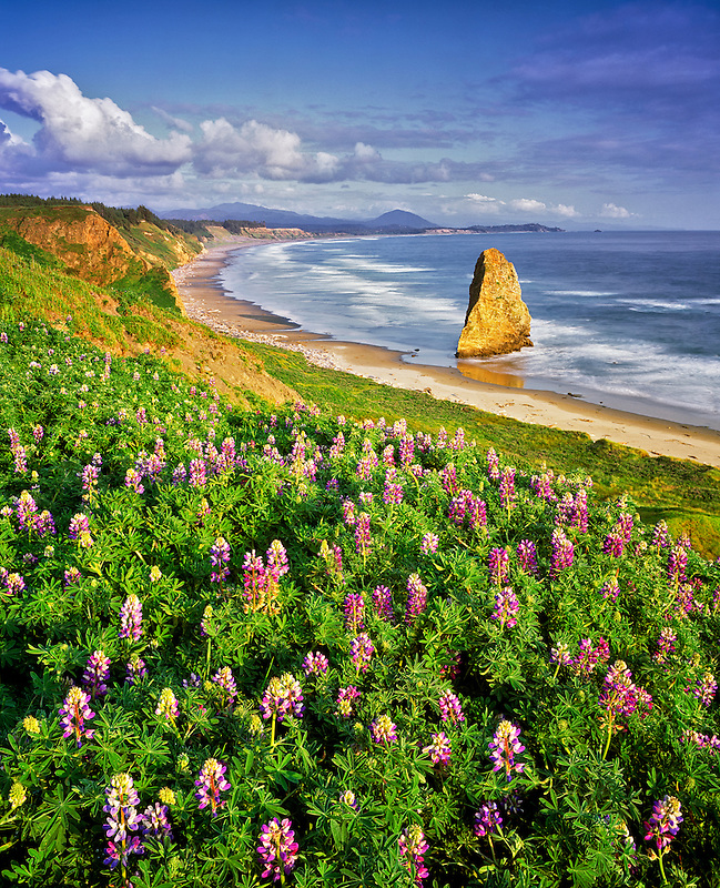 Lupines and coastline at Cape Blanco, Oregon.