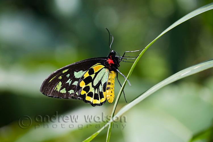 Cairns Birdwing (Ornithoptera euphorion)butterfly at Australian Butterfly Sanctuary.  Kuranda, Cairns, Queensland, Australia