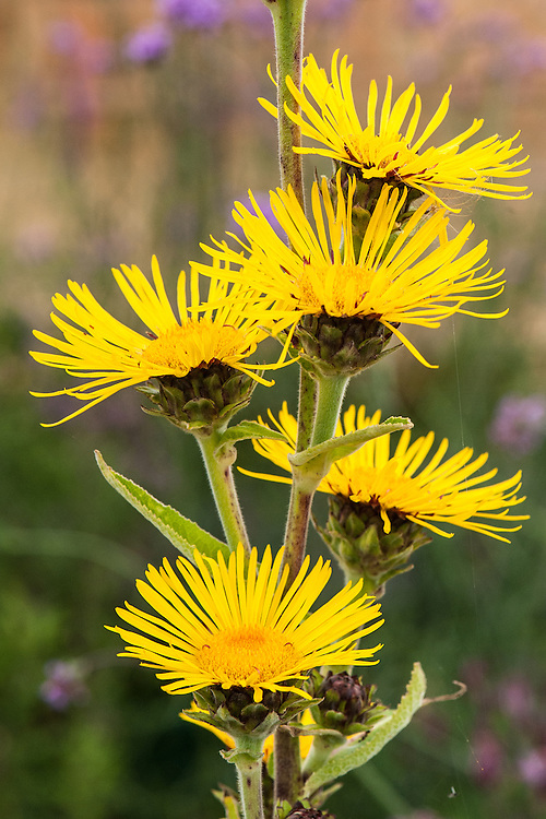 Inula magnifica 'Sonnenstrahl', late August.
