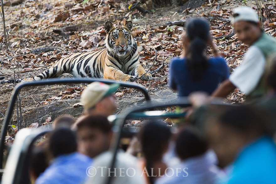 Tourists in game drive vehicles watching Bengal tiger (Panthera tigris)
