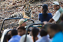 Tourists in game drive vehicles watching Bengal tiger (Panthera tigris)