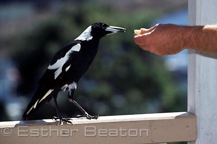Australian Magpie being fed cheese on verandah of a suburban house. Sydney, NSW