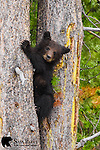 Grizzly bear cub in tree. Yellowstone National Park, Wyoming.