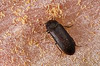 Zweifarbig Behaarter Speckkäfer, Dermestes haemorrhoidalis, Dermestes gulo, skin beetle, Black Larder Beetle, incinerator beetle, Speckkäfer, Dermestidae, skin beetles, Vorratsschädling, Schädling, Lebensmittelschädling, Vorratsschädlinge, Schädlinge, Lebensmittelschädlinge