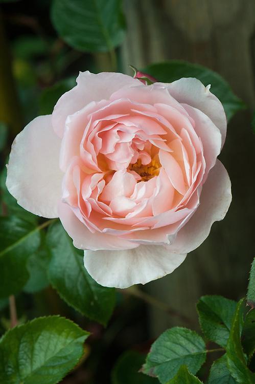 Rosa The Generous Gardener ('Ausdrawn'), late June.