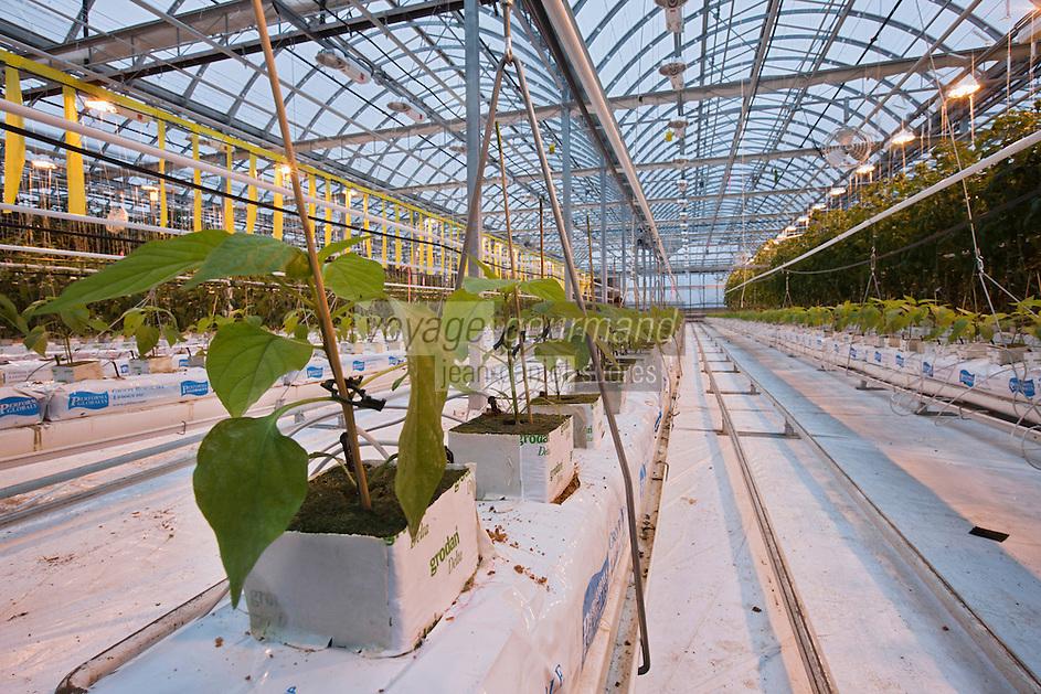 Amérique/Amérique du Nord/Canada/Québec/Montréal:  Culture sous serre du basilic, à la  Lufa Farms Inc:la ferme ou Mohamed Hage produit seize variétés de tomates,  salades , légumes dans les conditions du bio. Lufa Farms Inc dans  un quartier excentré de Montréal: Ahuntsic Cartierville