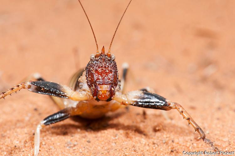 Cricket, Colossopus grandidieri, Reniala Nature Reserve, Ifaty, Madagascar, close up of face