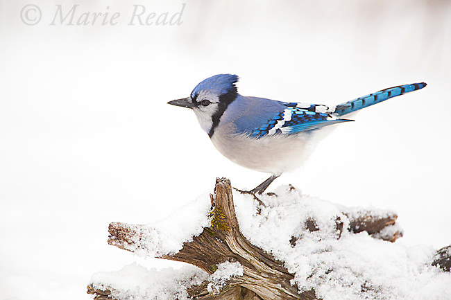 Blue Jay (Cyanocitta cristata) perched on snow-covered log in winter, New York, USA