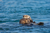 Southern Sea Otter (Enhydra lutris nereis) mother with young pup.  Central California Coast.