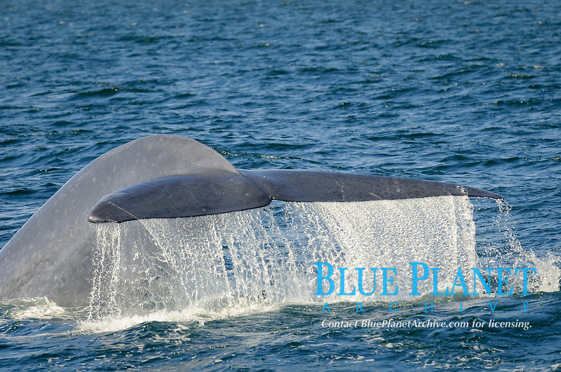 blue whale, Balaenoptera musculus, adult, with tail flukes raised, preparing to dive, Baja California, Mexico, Sea of Cortez, Gulf of California, Pacific Ocean