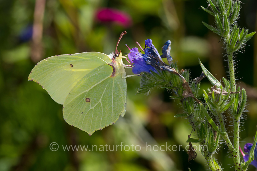 Zitronenfalter, Zitronen-Falter, Gonepteryx rhamni, brimstone, brimstone butterfly, Le Citron