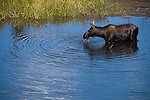 cow moose, Alces alces, pond, Kawuneeche Valley, Rocky Mountain National Park, summer, morning, August, Colorado, USA, Rocky Mountains