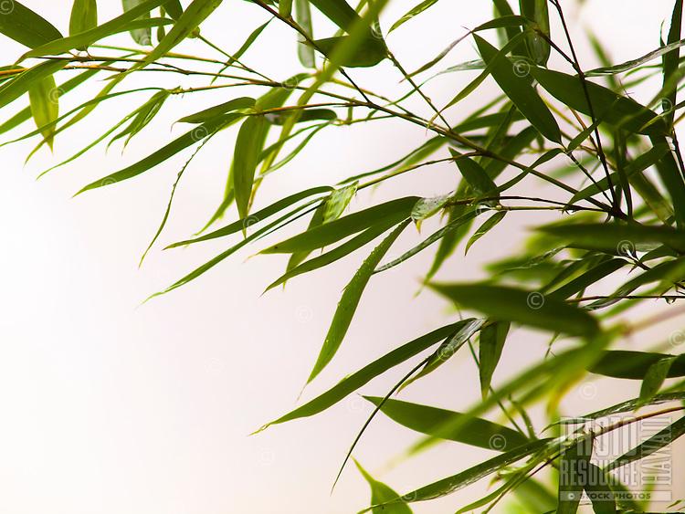 Green bamboo leaves against a white background, Big Island.