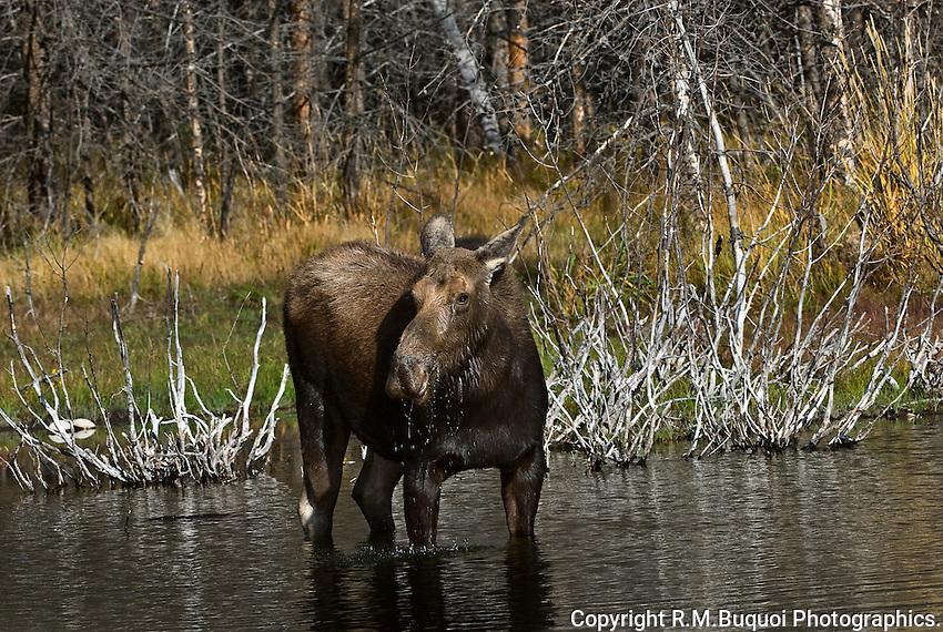 Moose, Grand Teton National Park