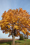 A lone Fall colored Maple stands near an Iowa soybean field just before harvest.