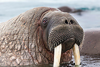 Male walrus in the waters surrounding  Svalbard