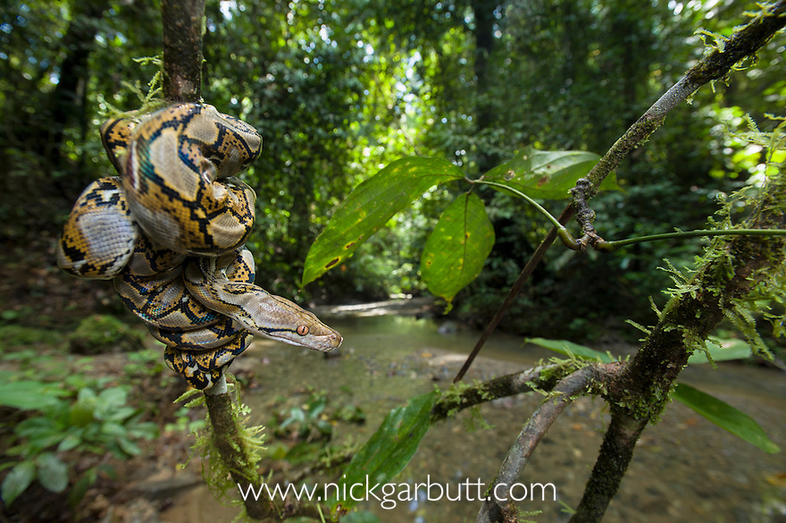 Close up of juvenile Reticulated Python (Python reticulatus) resting on sapling by rainforest stream. Danum Valley, Sabah, Borneo.