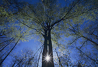 Sun burst between two trees in early spring, Raleigh, Wake County, North Carolina, USA