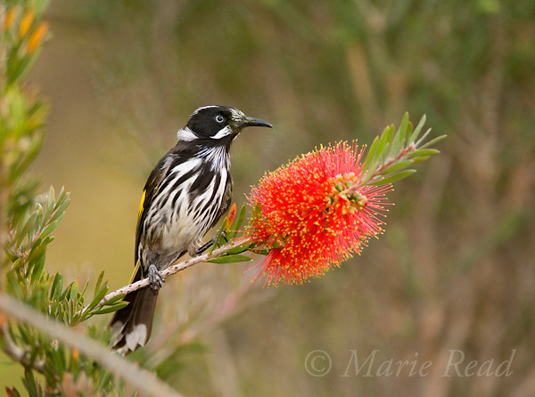 New Holland Honeyeater (Phylidonyris novaehollandiae), attracted to bottlebrush (Callistemon sp.) flower, Kangaroo Island, Australia.