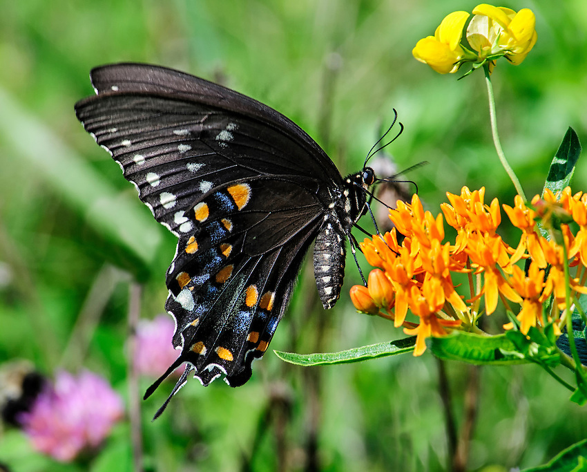 Spicebush swallowtail butterfly (Papilio troilus) fees on nectar of butterfly weed, a species of milkweed.