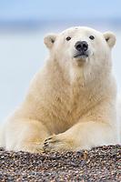 Polar bear rests along the shore of a barrier island in the Beaufort Sea, arctic Alaska.