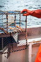 A good catch is a few handfuls of langoustine in each fish trap