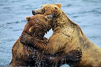Coastal grizzly bear (Ursus arctos) wrestling--dominance behavior among big males--at salmon fishing areas, Alaska.
