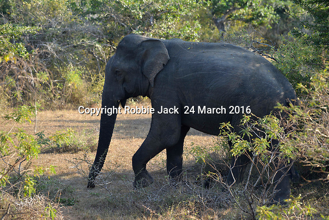 Yala National Park Sri Lanka<br /> Elephant