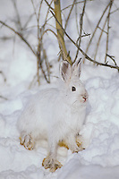 Snowshoe hare  or varying hare (Lepus americanus)