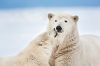 Sow and cub polar bear have affectionate interaction, Arctic National Wildlife Refuge, Alaska.