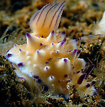 Bumpy Mexichromes -Purple & white nudi