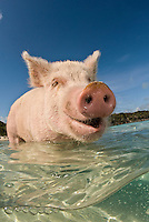 This feral pig seems to be enjoying an excursion into the clear water that surrounds its island home.  Exumas, Bahamas, Atlantic Ocean