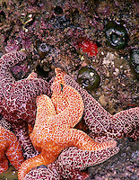 Starfish at low tide. Strawberry Hill, Oregon.