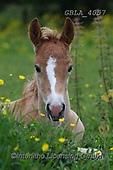 Bob, ANIMALS, REALISTISCHE TIERE, ANIMALES REALISTICOS, horses, photos+++++,GBLA4057,#a#, EVERYDAY