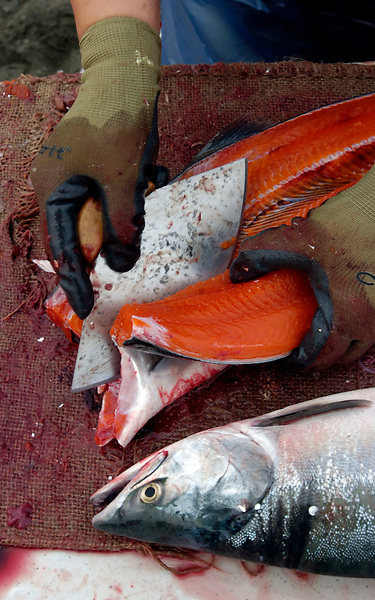 Bea Peterson, of Anchorage, Alaska, uses an ulu knife to clean a red salmon on the Cook Inlet beach.