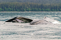 humpback whales, Megaptera novaeangliae, co-operatively bubble-net feeding, note the herring jumping to get away inside the whales mouth,, Stephen's Passage, Alaska, USA, Pacific Ocean