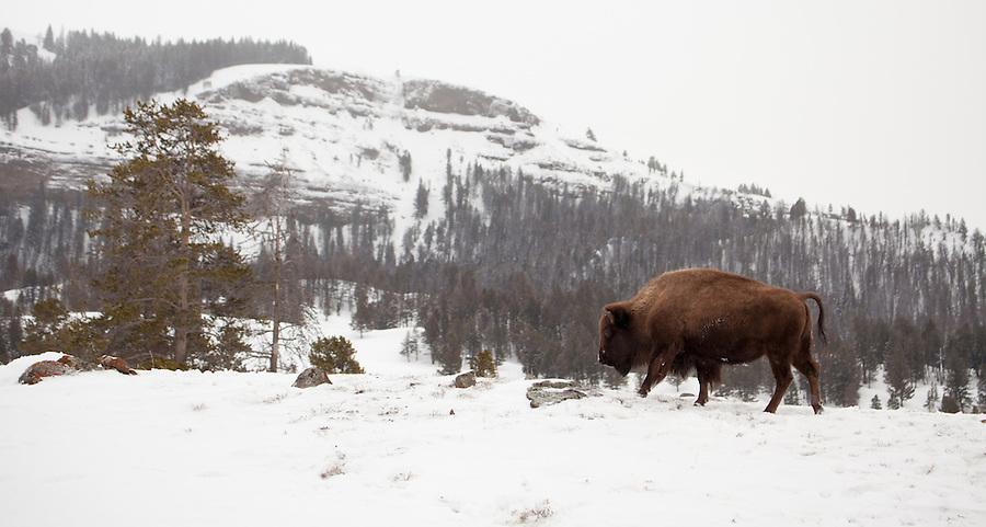 A single buffalo walks on a snowy hillside in Yellowstone National Park.