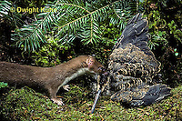 MA28-078z  Short-Tailed Weasel - ermine in brown summer coat trying to eat bird prey - Mustela erminea