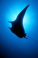 silhouette, Manta ray, Manta birostris, Sea of Cortez, Mexico