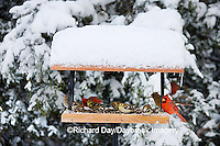 00585-03604 Northern Cardinals, House Finch & American Goldfinches on tray feeder in winter, Marion Co. IL