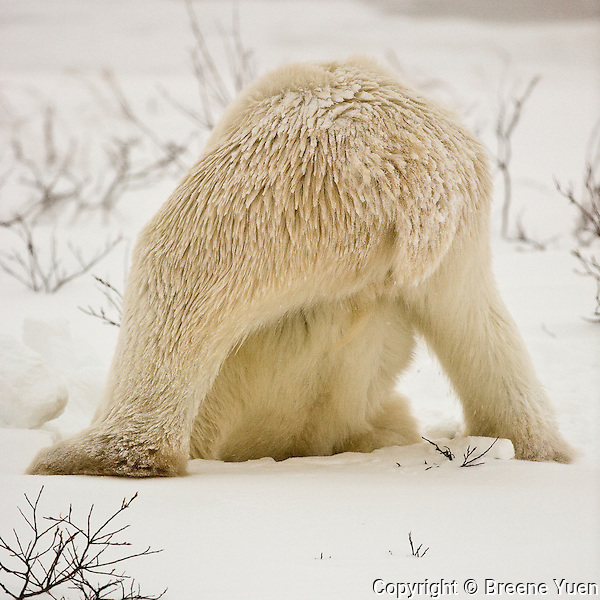 Rear end view of an adult polar  - digging seaweed out for a snack