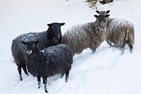 Schaf, Schafe, Hausschaf, Hausschafe, Sheep, domestic sheep, Winter, Schnee, snow