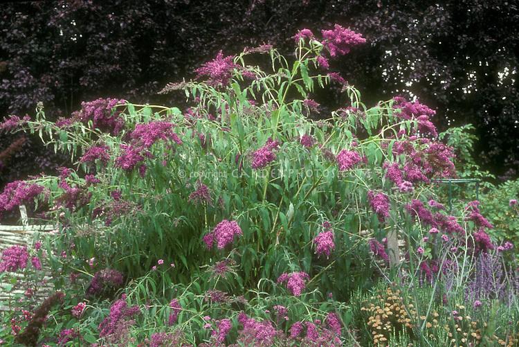 Buddleia 'Dartmoor' butterfly bush aka Buddleja Dartmoor in purple flowers