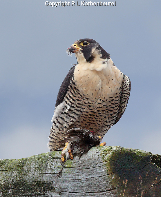 Adult Peregrine falcon perched on driftwood with a dunlin in its grasp
