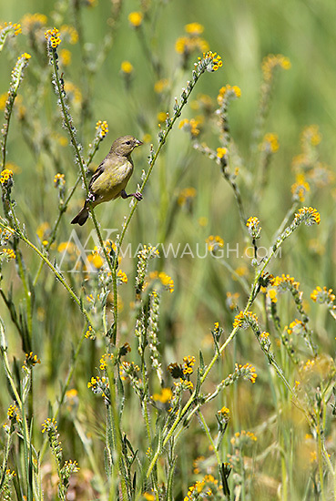 A Lesser goldfinch perches among the fiddleheads in Pinnacles National Park.