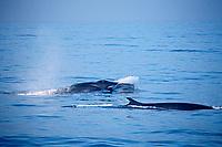 fin whales, Balaenoptera physalus, California, USA, Pacific Ocean